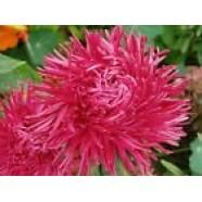 Aster Flower Seeds Sorel Callistephus Chinesis Krallen from Ukraine