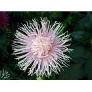 Aster Flower Seeds Ventus Callistephus Chinesis from Ukraine