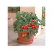 Eco Organic Tomato Vegetable seed Balcony Mirracle
