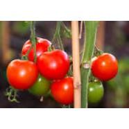 Organic Tomato Vegetable seed Gospodar from Ukraine