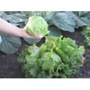 Organic Rare Seeds Salad Etti Ukraine Heirloom Vegetable Seed