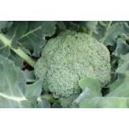 Broccoli Cabbage seeds Lednicka Organic Heirloom Vegetable Seeds