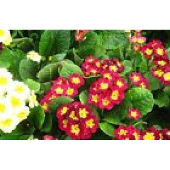 Flowers Seeds Primula Elalior Heirloom Flower Seeds from Ukraine