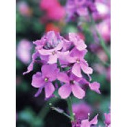 Flowers Seeds Hesperis Matronalis Heirloom Flower Seeds from Ukraine