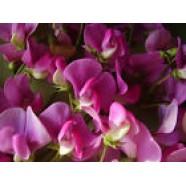 Lathyrus Lalifolius Flowers Seeds from Ukraine