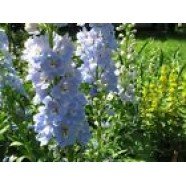 Delphinium Consolida Flowers Seeds from Ukraine