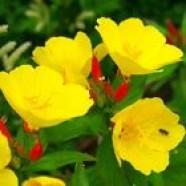 Oenothera Missouriensis Flowers Seeds from Ukraine