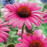 Echinacea Purpurea Flowers Seeds from Ukraine