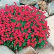 Aubrieta Cultorum Hibrida Red Flowers Seeds from Ukraine