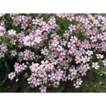 Gypsophila Repens Flowers Seeds from Ukraine