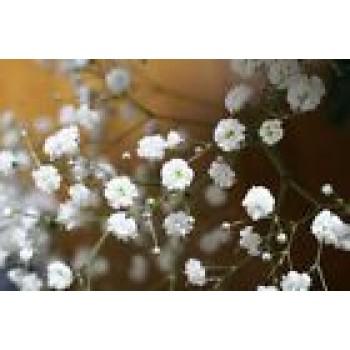 Gypsophila Paniculata Flowers Seeds from Ukraine