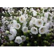 Campanula Medium White Flowers Seeds from Ukraine
