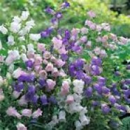 Campanula Medium Flowers Seeds from Ukraine