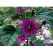 Alcea Rosea Violet Flowers Seeds from Ukraine