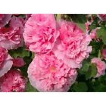 Alcea Rosea Rose Flowers Seeds from Ukraine