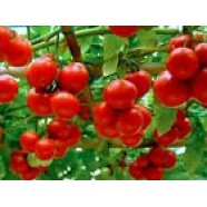 Organic Tomato Vegetable seeds Russia Apple from Ukraine early
