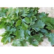 Celery Seeds Leaf Celery OrganicVegetable seed