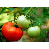 Organic-Tomato-Vegetable-seeds-Carrot-from-Ukraine-average-early-germination  Organic-Tomato-Vegetable-seeds-Carrot-from-Ukraine-average-early-germination Organic Tomato Vegetable seeds Carrot from Ukraine average early germination