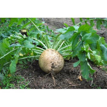 Eco-White-Radish-Daikon-Seeds-Akord-Ukraine-Heirloom-Vegetable-Seeds  Eco-White-Radish-Daikon-Seeds-Akord-Ukraine-Heirloom-Vegetable-Seeds Eco White Radish-Daikon Seeds Akord Ukraine Heirloom Vegetable Seeds