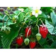 Rare Strawberri​es Seeds Organic Berries Seed Ryugen early