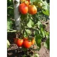 Organic Tomato Vegetable seed SH-2 from Ukraine average germination