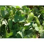 Eco Cucumber seed Viskonsin Organic Ukraine Heirloom Seed