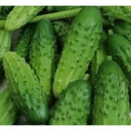 Eco Cucumber Seeds Malish F1 Organic Ukraine Heirloom Seed