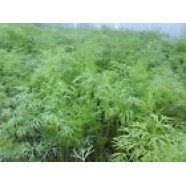 Rare Herb Seeds Dill Kushoviy Organic Heirloom Seed