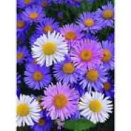 Aster Alpinus Flowers Seeds from Ukraine