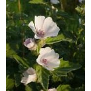 Althaea Officinali​s Seeds Marshmallo​w Medicinal Organic Herb Seed