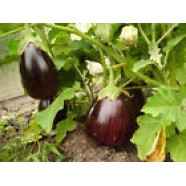 Eggplant seeds Black Beauty Organic Heirloom Vegetable Seed from Ukraine