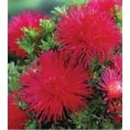 Aster Flower Seeds Esmeralda Callistephus Chinesis from Ukraine